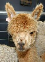 Alpaca - Creswick Woolen Mill